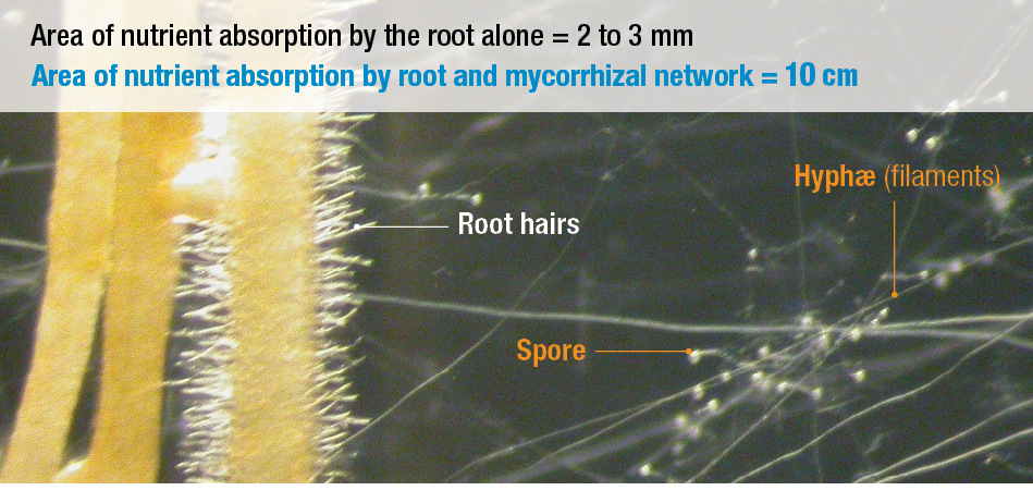 Area of nutrient absorption increased with mycorrhizae
