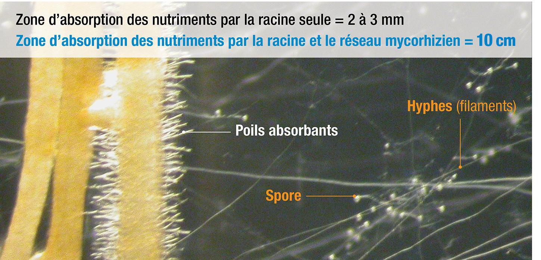 Zone absorption accrue avec les mycorhizes