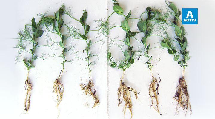 Better developed root system | More branching