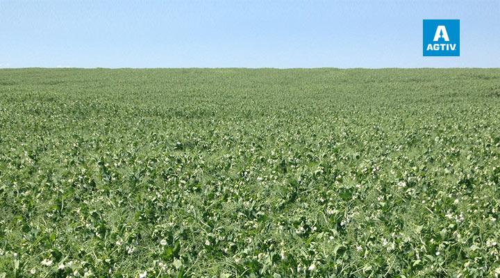 Quicker row closure | More uniform  & greener field