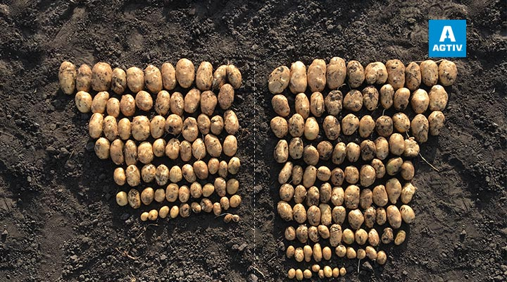Increased tuber count per plant & marketable yield