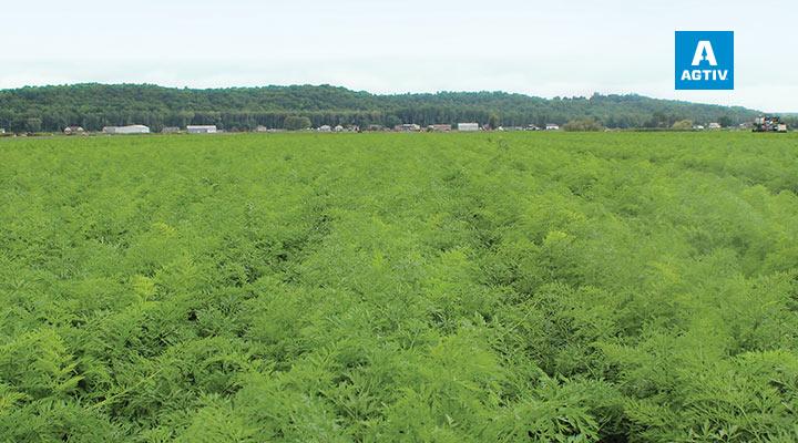 Carrots (full field) - Ontario (Canada)
