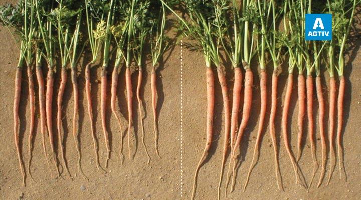 Carrots - California (USA)