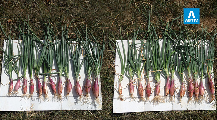 Onions - France