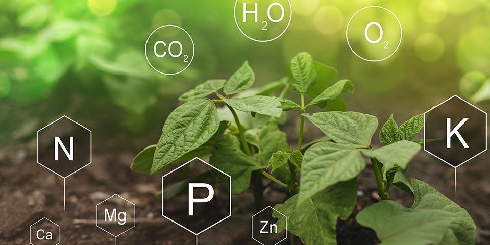 Mieux utiliser le phosphore en agriculture